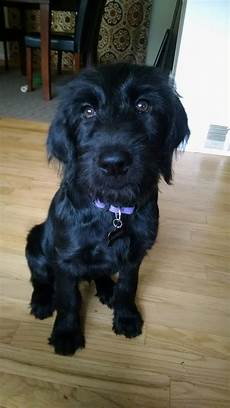 black labradoodle haircuts f1 black labradoodle puppy those eyes labradoodle puppy black labradoodle labradoodle