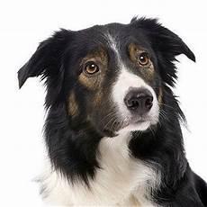 Ausmalbilder Hunde Border Collie Border Collie 2019 Charakter Wesen Hunde Fan De