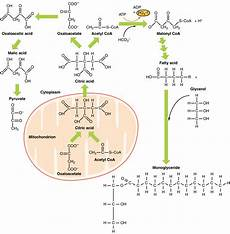 uipi8ds metabolic functions of the liver carbohydrates lipids