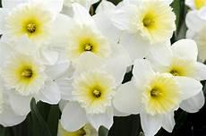 nomi fiori giapponesi welcome daffodils my chicago botanic garden