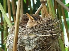 welcher vogel baut welches nest teichrohrs 228 nger br 252 ten am sennesee info des asv dalbke e v