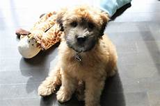 soft coated wheaten terrier haircut wheaten terrier soft coated wheaten terrier puppy project