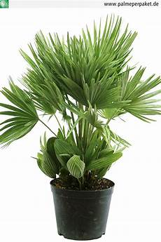 palme per paket jungpflanze chamaerops humilis vulcano gr 246 223 e 60 cm