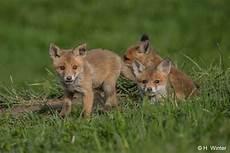 Was Essen Mäuse In Der Natur - bund rotfuchs vulpes vulpes