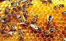 Ekogeo Lebah Serangga Penghasil Madu