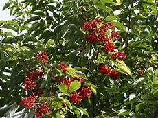 traubenholunder hirschholunder sambucus racemosa