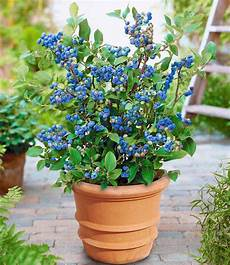 topf heidelbeere quot blue parfait quot 1 pflanze g 252 nstig
