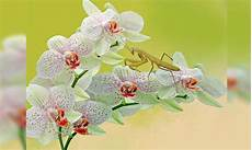 35 Jenis Bunga Anggrek Indonesia Lengkap Dengan Gambar