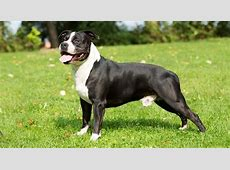 American Staffordshire Terrier Breed Profile: Everything