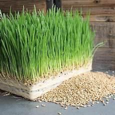organic wheat seed wheatgrass pet cat grass