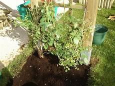 Comment Planter Un Rosier Grimpant Sur Une Pergola