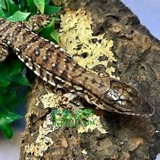 argentine tegu care sheet how to care for your new pet tegu for sale baby tegu care