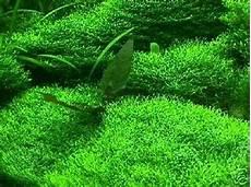 unterwassergras rasen gras wasserpflanzen aquarium