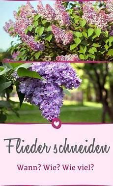 hortensien wann pflanzen wie sie ihren flieder richtig schneiden und pflegen