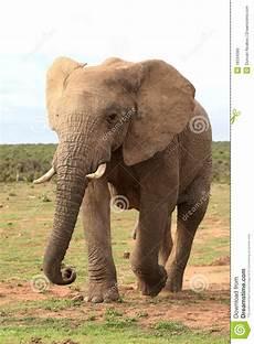 Malvorlage Afrikanischer Elefant Afrikanischer Elefant In Bewegung Stockfoto Bild