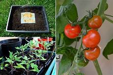 tomaten selber anbauen how to save tomato seeds without fermenting garten