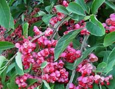 arbuste fruit les meilleurs arbustes d ornement 224 fruits d 233 coratifs
