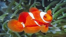 Jenis Jenis Ikan Hias Dan Cara Memelihara Kumpulan