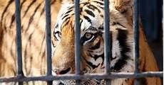 animali in gabbia fabrizio reale fotografie tigre in gabbia tiger in cage