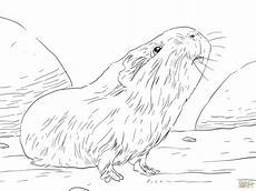 Ausmalbilder Hasen Meerschweinchen Curious Guinea Pig Coloring Page Free Printable Coloring