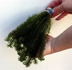 25 Unterwasserpflanzen Teich Sortiment Sauerstoffpflanzen