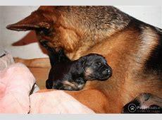 Puppyplaats.nl   Duitse herder pup uit keurfok   Duitse