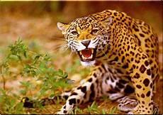 Pic Of Jaguar by Wallpaper Animal Jaguar