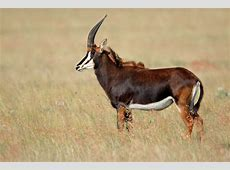 Sable Antelope Facts, History, Useful Information and