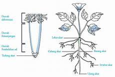 Struktur Jaringan Jenis Fungsi Akar Pada Tumbuhan