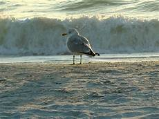 Seagull Apartments Ks by St Petersburg Fl A Seagull Searching For Dinner At
