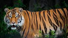 Kumpulan Gambar Harimau Liar Dan Keren