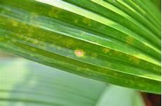 kentia palme braune blätter flecken auf p munroi fotos seite 1 palmen