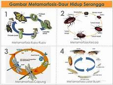 Gambar Metamorfosis Daur Hidup Pada Serangga Dan Amfibi