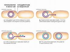 dbeb bacterial conjugation