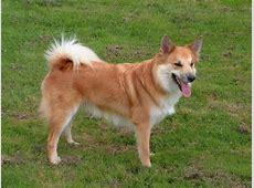 IJslandse Hond   Hond te KoopHond te Koop