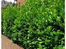 pflanzen für hecke kirschlorbeerhecke novita 174 5 pflanzen f 252 r 2 3 meter hecke