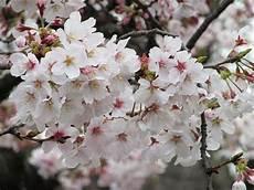 fior di ciliegio fiori di ciliegio significato e immagini idee green