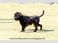 Affenpinscher Dog Breed Profile   Small Dog Place