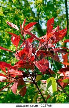 strauch rote blätter robin immergr 252 ne strauch busch auch bekannt als