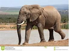 Malvorlage Afrikanischer Elefant Afrikanischer Elefant Bei Waterhole Stockfoto Bild