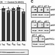 pdf protein kinase c pkc α and pkcθ are the major pkc isotypes involved in tcr down regulation