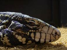 tegu care sheet your tegu