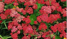 fleurs vivaces rouges