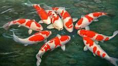 Makalah Morfologi Taksonomi Dan Klasifikasi Ikan Koi