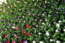 fiori da davanzale fiori da balcone piante aromatiche e ortaggi azienda