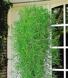 h 228 ngender bambus green twist 174 bambus bei baldur garten