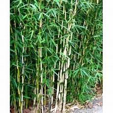 bambou non invasif orchid 233 e bambou dendrobium nobil 233 dendrobium nobile