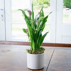 Calla Pflanze Pflege - how to care for an indoor calla plant