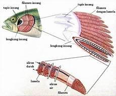 Sistem Pernapasan Ikan Info Pendidikan Dan Biologi