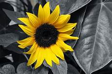 fiori in bianco e nero sunflower yellow black and white 183 free photo on pixabay